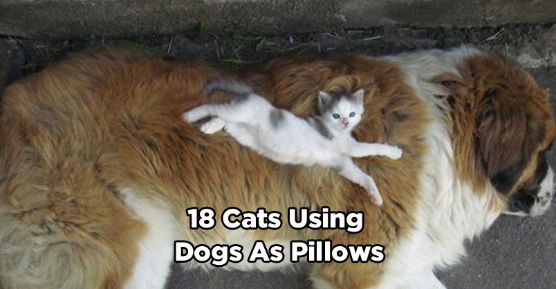 18 Great Pictures Of Cats Using Dogs As Pillows We Love