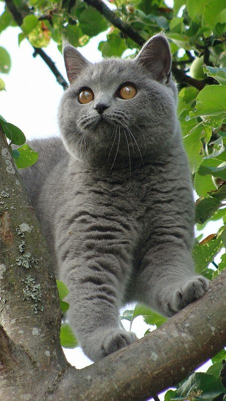 British Shorthair copy