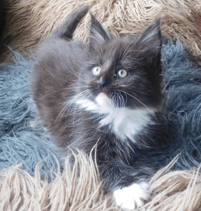 Cancoonz Maine Coon Cats and Kitten