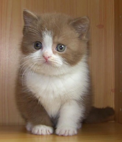 british cinnamon shorthair kitten