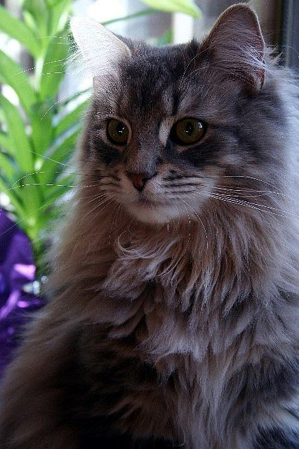 maine coon copy 2