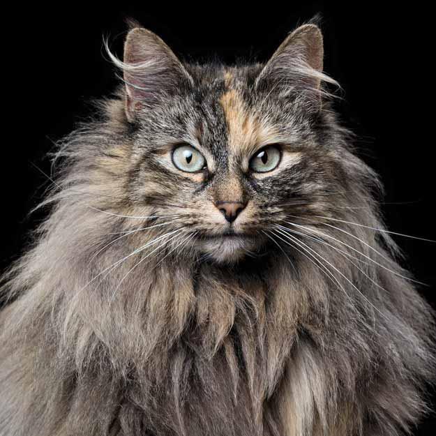 Norwegian-Forest-Cat