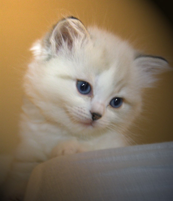 snow white kitten