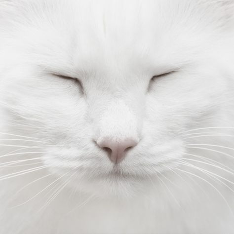 white cat copy