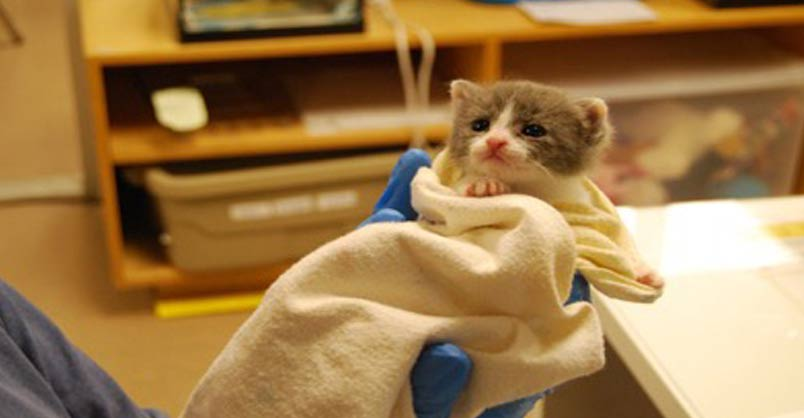 Can A Spayed Cat Nurse Kittens