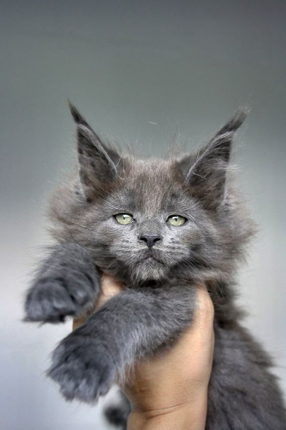 glorious Maine Coon
