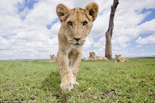lion 4.