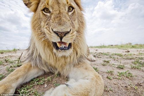 lion 7