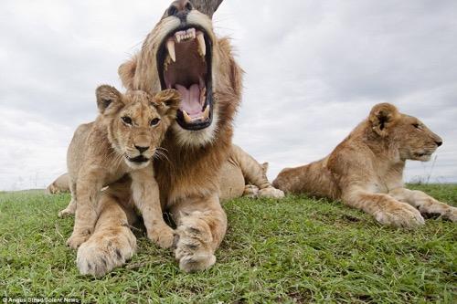 lion 9