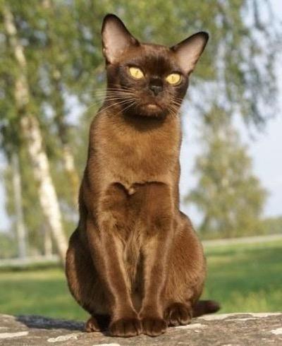 European Chocolate Burmese Cat