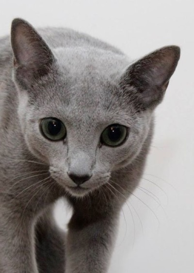 Russian Blue copy