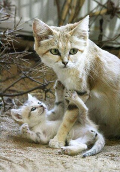 Wild sand cat and her kitten