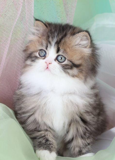 persian fluffy