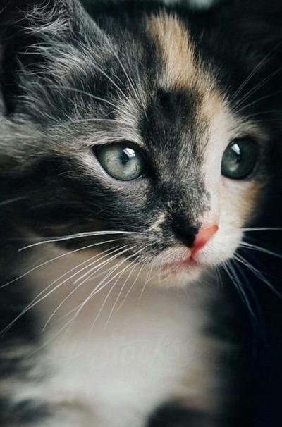 stunning calico kitten