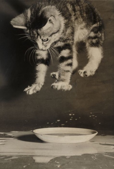 A photograph of a kitten splashing in a saucer of milk, taken in 1958 by Terry Fincher for the Daily Herald.