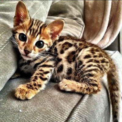 Cute Bengal Kitten 18th July 2016 We Love Cats And Kittens