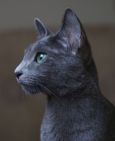 Russian blue beaut