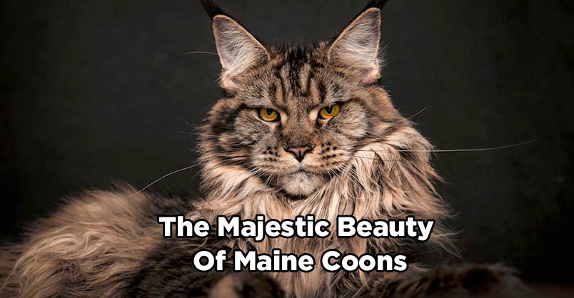 Photographer Captures The Majestic Beauty Of Maine Coons - We Love