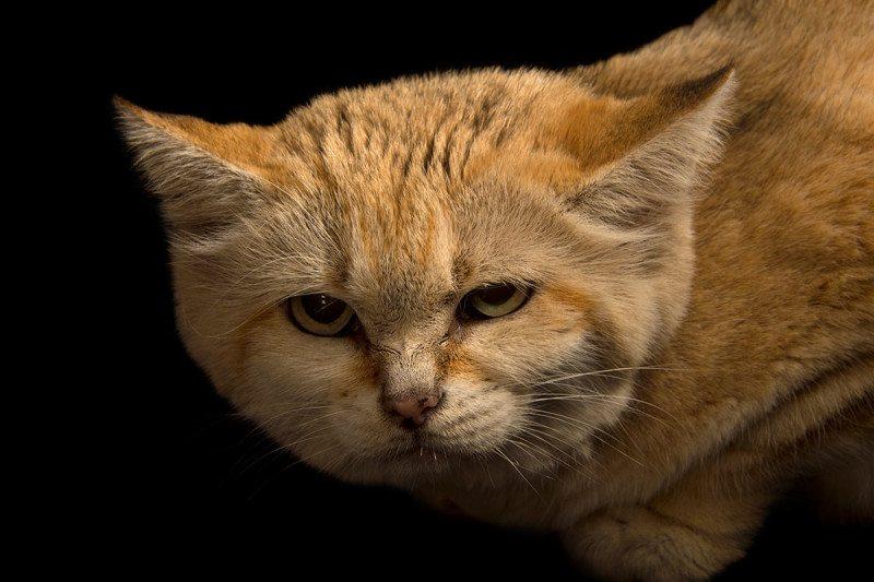 sand cat 4