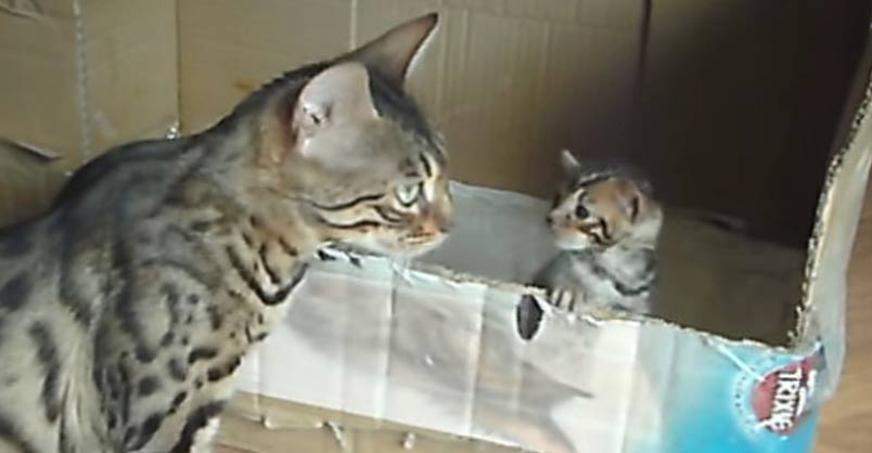 Too Cute! Bengal Mother Cat Talking to Her Kitten