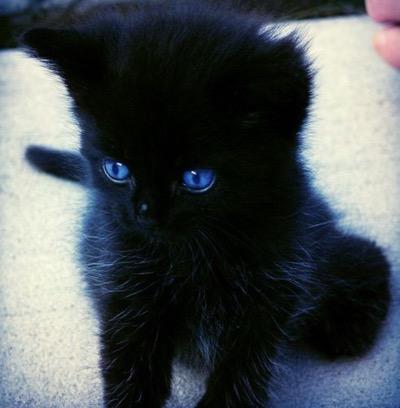 Ojos Azules for sale Ojos Azules breeders hong kong buy Ojos Azules Breeders Ojos Azules Cats breed Ojos Azules Cats for adoption