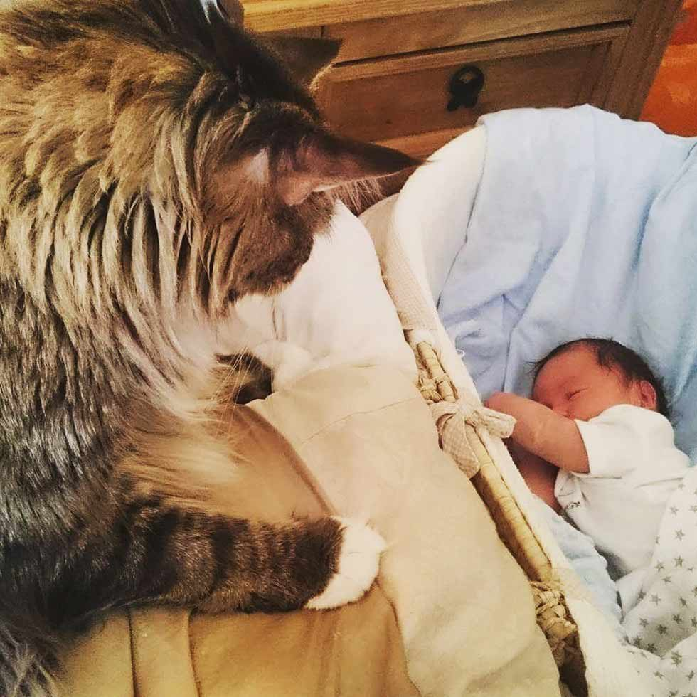 On October 6th 2015 He Was Measured By The Guinness World Records At  11833cm 3 Ft 1059 Inch And Was Crowned To Be The Worlds Longest Domestic Cat