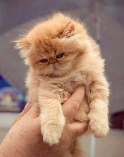 persian-kitten-copy-3