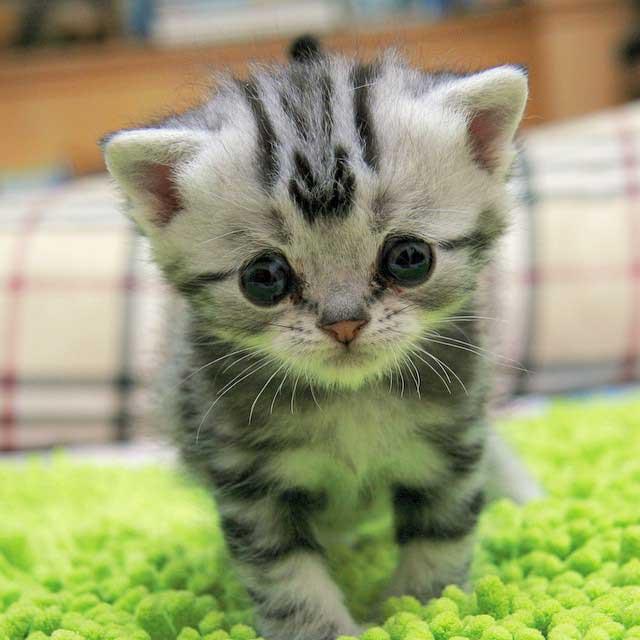 Luhu as a kitten