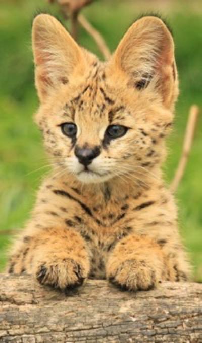 serval-cub