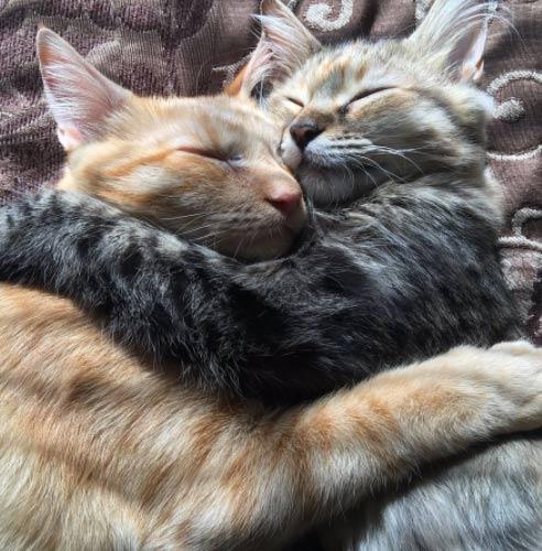 Cat Kiss Love