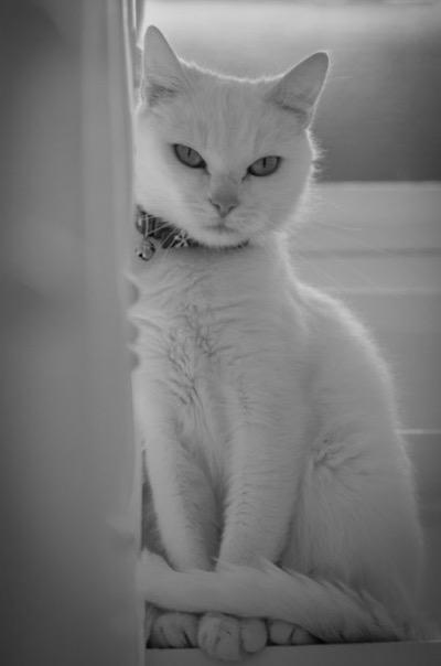 aristocat