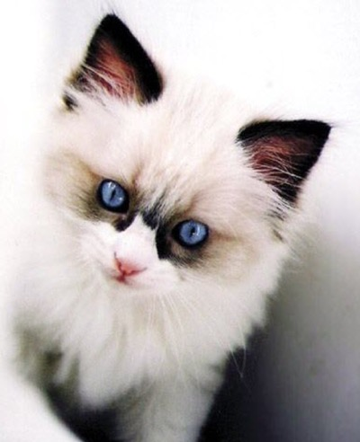 cute-ragdoll-kitten