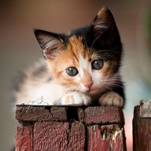 calico kitten on red wood