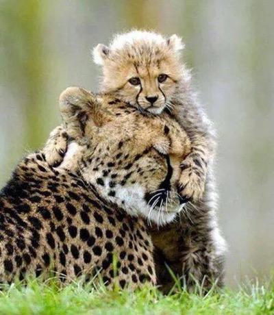 leopard and cub hug