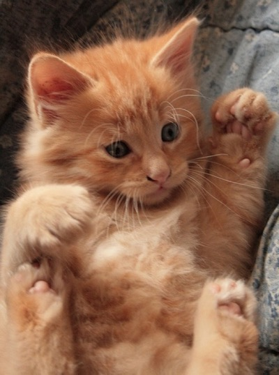ginger kitty