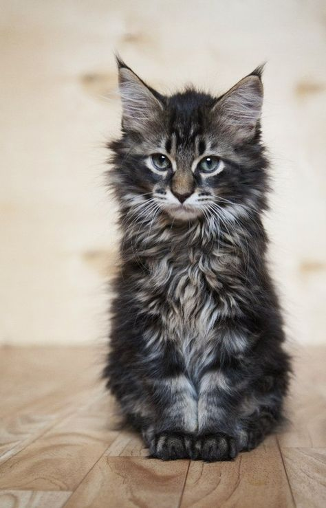 maine coon kitten 1