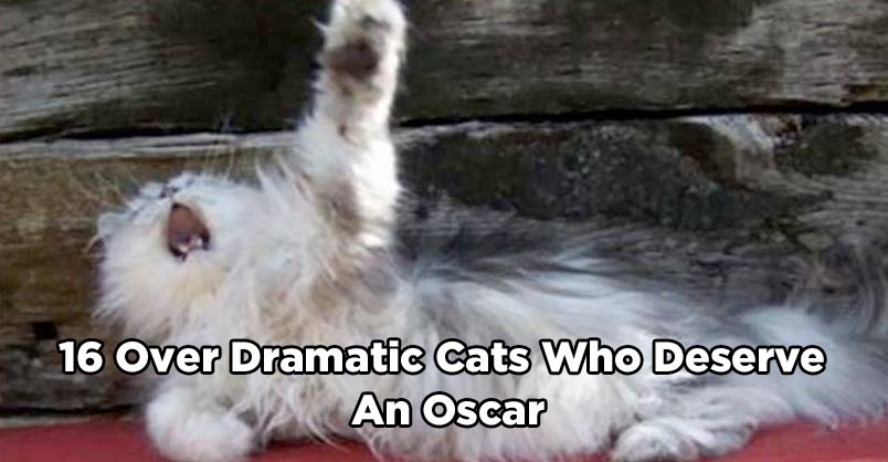 16 Over Dramatic Cats Who Deserve An Oscar We Love Cats