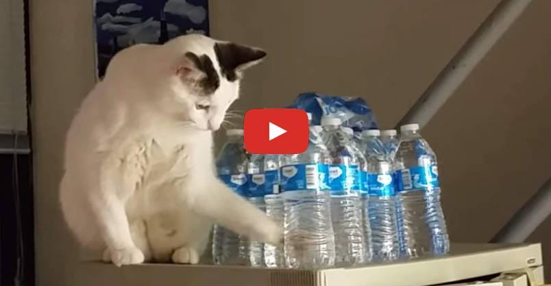 vastus lateralis cat
