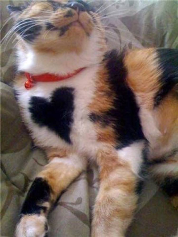 A calico with a BIG heart
