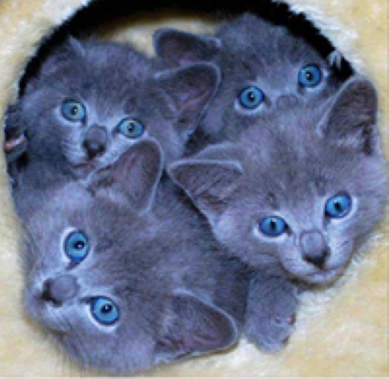 Four-blue-kittens-with-even-bluer-eyes
