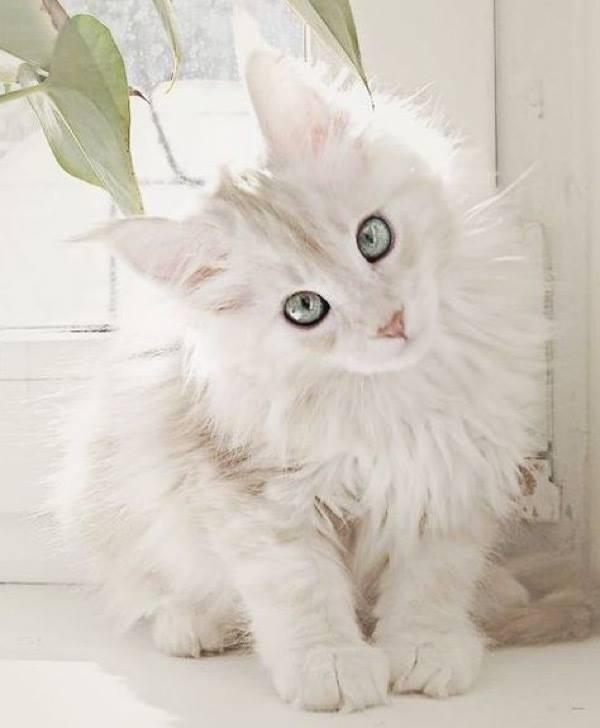 I've not seen many White Maine Coon kitties