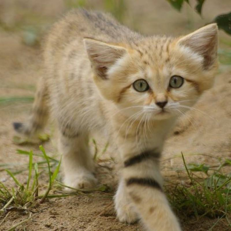 Sand cats are so beautiful