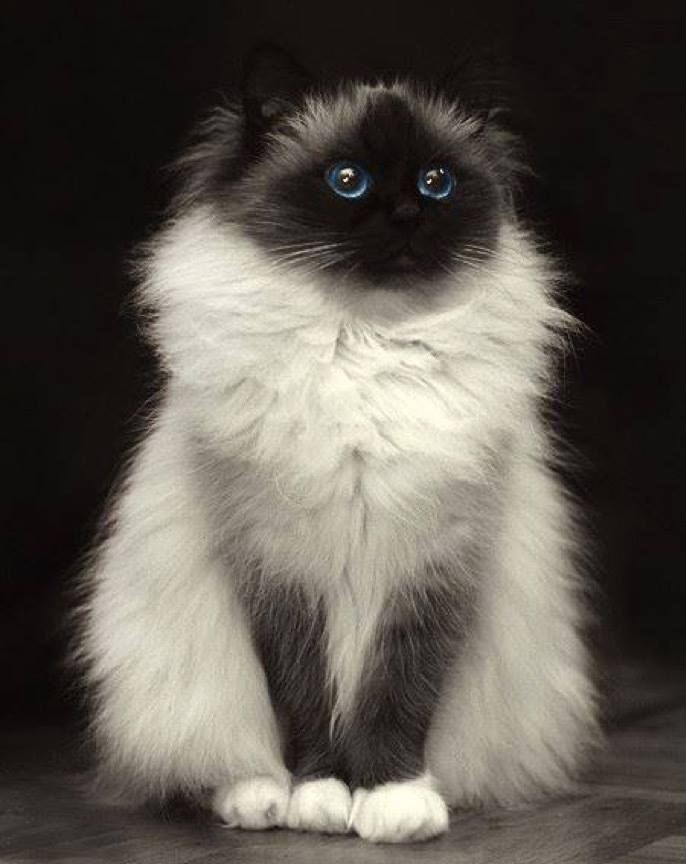What a delightful Birman cat