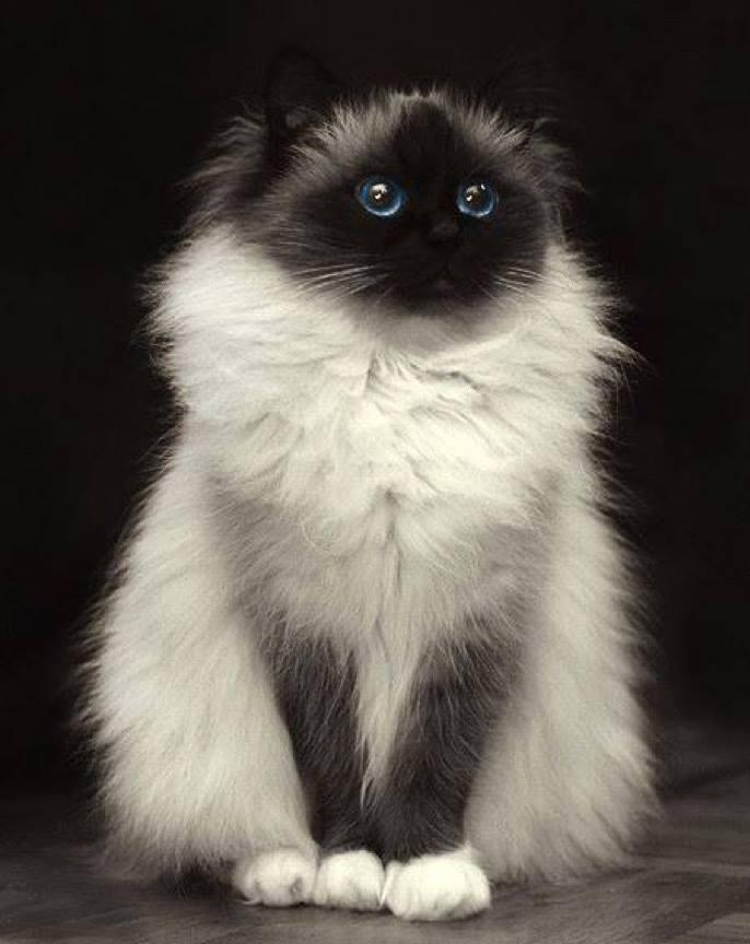 What a delightful Birman cat