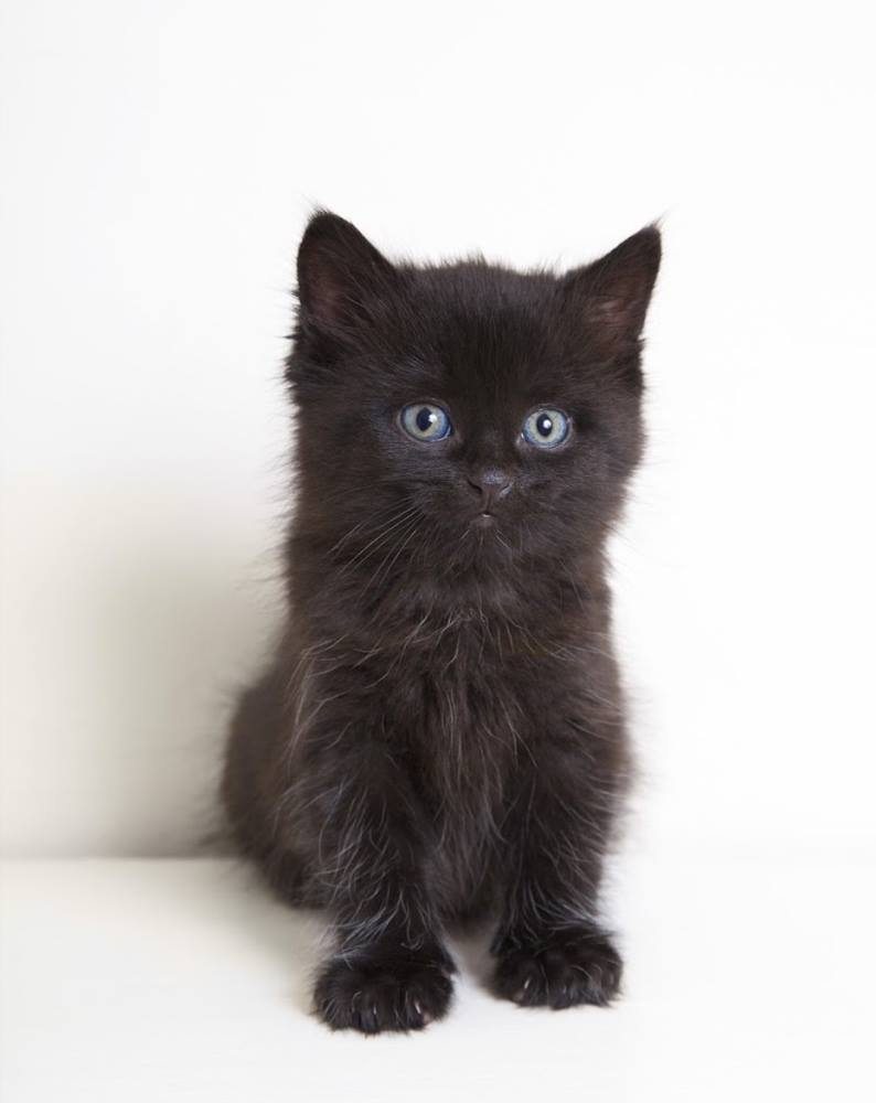 What a gorgeous little black kitten