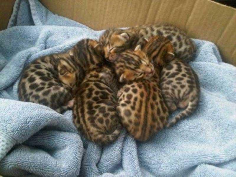 Bengal-kittens!