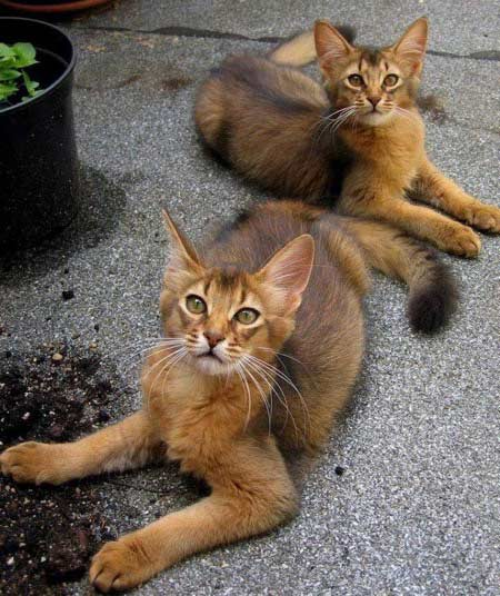 Check-out-these-long-haired-Abyssinians