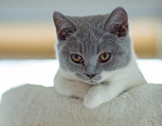 This grey cat is absolutely gawwwgeous.