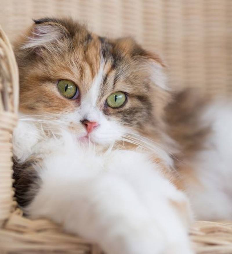 What an adorable Scottish Fold