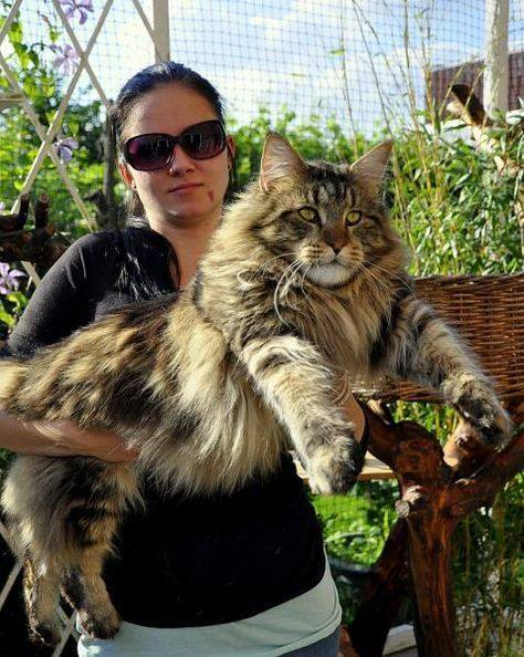 gorgeous Maine Coon cat